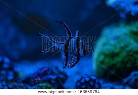 Pterapogon kauderni, Zebra apogon, Banggai cardinal fish. Clavularia. Reef tank marine aquarium. Blue aquarium full of plants. A tank filled with water for keeping live underwater animals. Night view.