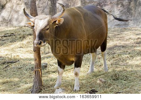 Image of a red bull male on nature background. wild animals.