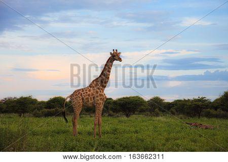 Giraffe In The Bush At Sunset Against The Sky   In The Etosha Park,