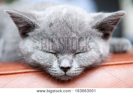 Cute Sleeping Kitten Resting And Relaxing, Feline Animal