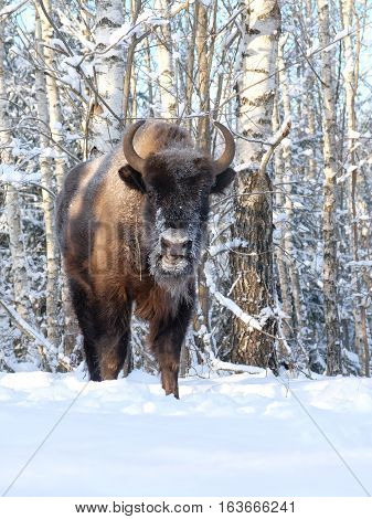 European bison (Wisent Bison bonasus) in winter forest. National park Ugra Kaluga region Russia.
