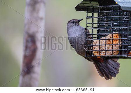 Gray Catbird (Dumetella carolinensis) perched on a suet feeder.