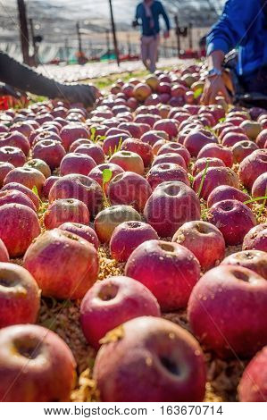Farmer Picking Italian Typical Apples