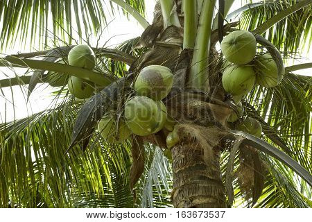 coconut fruit on coconut tree in garden Thailand