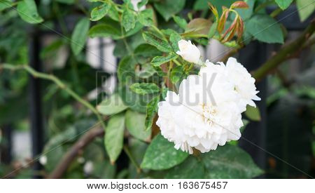 Gardenia flower in the garden White flower Abstract of complexity Gardenia flower has meaning of prosperity in Thai and real love in English.
