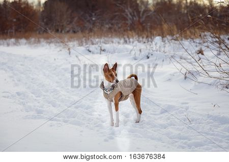 Basenji dog walking in winter forest. Cold snowy day. Dog in winter clothes