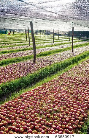Italian Typical Apples Plantation