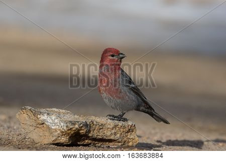 Pine Grosbeak Looking for Food on a Cold Fall Morning