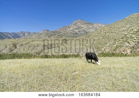 Black cow grazing in a mountain meadow. Altai Mountains Russia. Sunny summer day.
