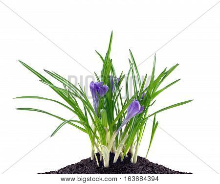 Pink crocuses flowers grows in black wet land isolated on white closeup