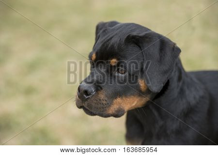Cloose -up head shot of young Rottweiler .selective focus