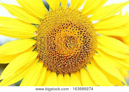 The brightest, summer and beautiful flower - sunflower.