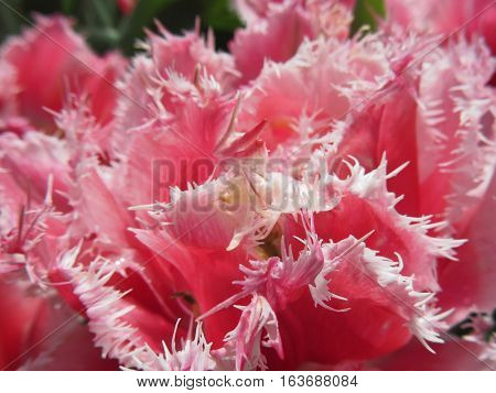 Closeup of pink streaked tulips in spring