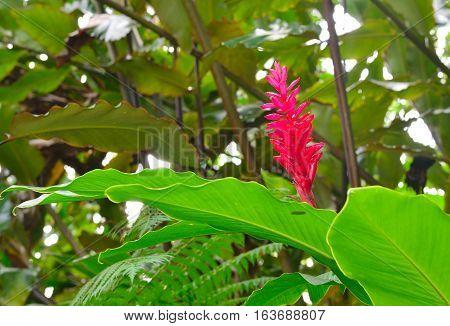 Flowering Ginger Alpinia Purpurata