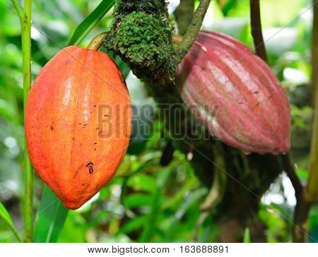 Closeup Of The Growing Cacao Tree Fruit