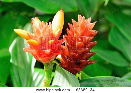 Hawaii Ginger Flower