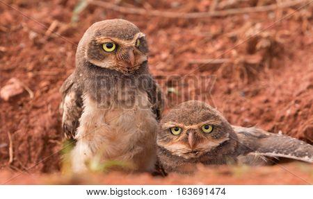 Two Baby Brazilian Burrowing Owls Outside the Burrow