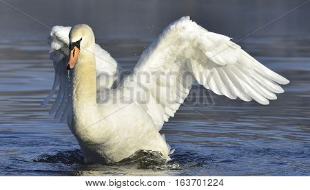 Closeup White swan with spred wings. Feathers, waterdrops, lake. Nature, Wildlife.