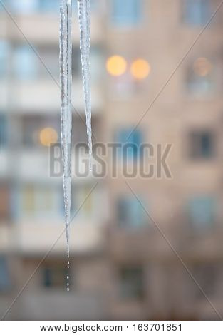 Winter thaw. Two large icicles. Icicles melting and dripping from them. In the background is blurred residential building.