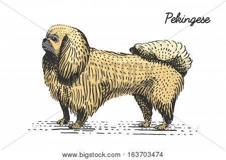dog breeds engraved, hand drawn vector illustration in woodcut scratchboard style, vintage species. pekingese