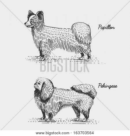 dog breeds engraved, hand drawn vector illustration in woodcut scratchboard style, vintage species. papillon and pekingese