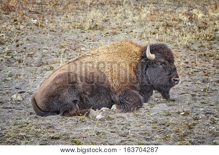 American Bison (bison Bison) In Yellowstone National Park, Usa.