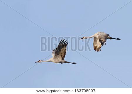 Pair Of Sandhill Cranes (grus Canadensis) In Flight - Gainesville, Florida