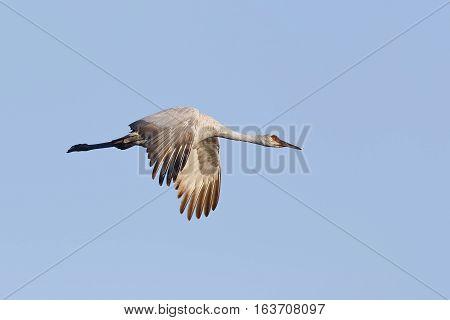 Sandhill Crane In Flight - Gainesville, Florida