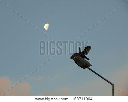atardecer en la ciudad con ave en poste de alumbrado público mirando la luna
