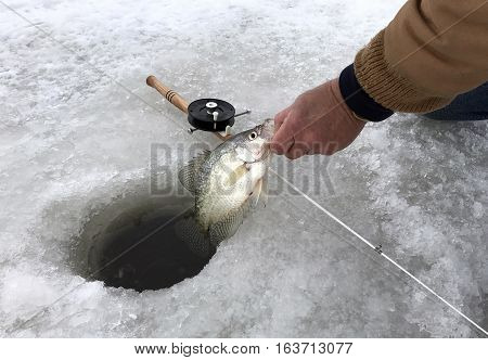 Crappie being caught while ice fishing on a frozen lake