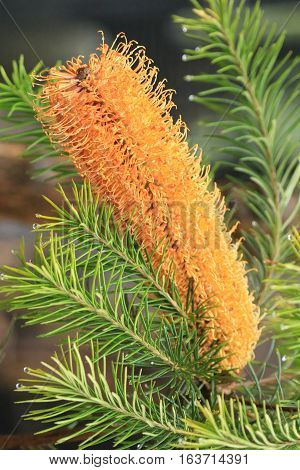 An Australian golden Banksia flower blooms in the sun