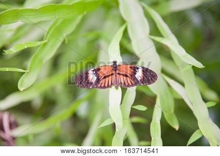 Butterfly Heliconius Melponeme On Green Leaf