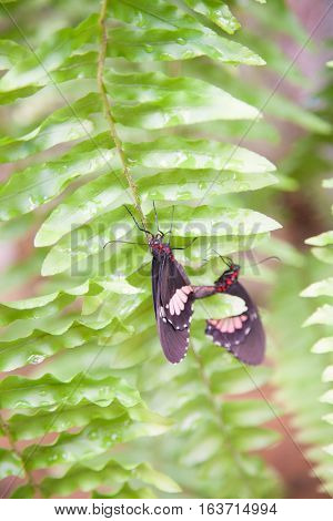 Parides Iphidamas Butterfly On Green Leaf