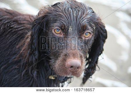 Handsome Chocolate Working Type Cocker Spaniel Puppy Dog