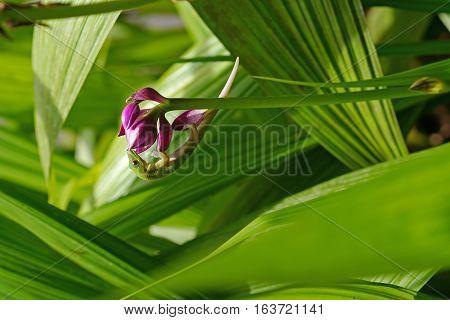 Hawaiian gecko enjoying the nectar of a tropical plant