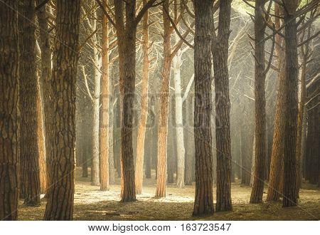 Itaian Maritime Pine tree misty forest or pinewood Marina di Cecina Maremma Tuscany Italy.