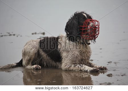 Working Type English Springer Spaniel Wearing A Red Muzzle On A  Beach