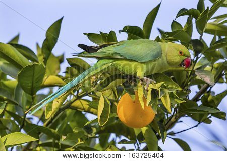 Green Rose Ringed Ring Necked Parrot Parriokeet Orange Tree Sea of Galilee Israel