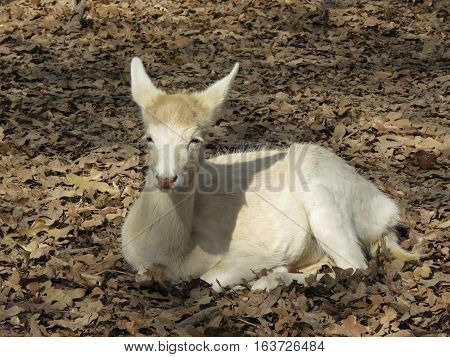 white fawn resting in the forest on leaves