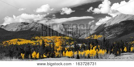 Golden tree leaves of a fall aspen forest contrasted against a black and white panoramic landscape scene in the Colorado Rocky Mountains