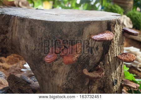 Fresh reishi mushroom for display, stock photo