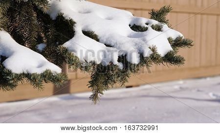 Snow on pine cone tree beautiful natural of winter background
