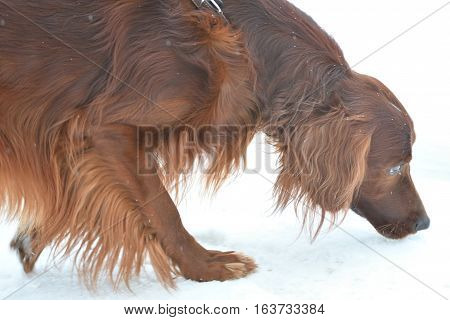 Dog breed Irish Red setter for a walk in a winter morning