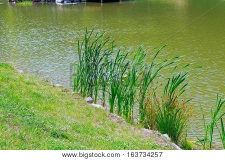 reeds growing at the lake reeds lake