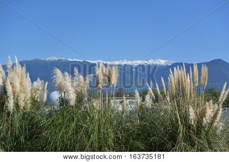 Pampas grass or cortaderia in the Sochi Russia