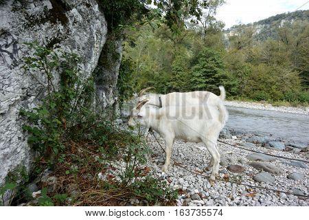 Goats graze on the Mzymta River in the canyon Ahshtyrskaya Sochi Russia.