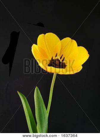 Inside A Yellow Tulip Head