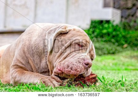 Neapolitan Mastiff Young Dog Lying On A Green Lawn Happily Chewing A Large Raw Bone Held Between Its Front Paws