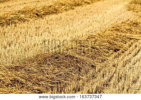 Bales of starw in a field at harvest