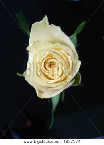 Isolated Cream Rose